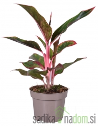 Betičnik - Aglaonema Light Pink Star