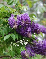 Glicinija Longwood Purple (Wisteria frutescens)