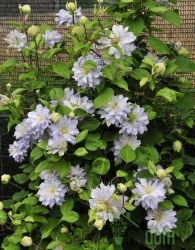 Srobot Diamond Ball (Clematis)