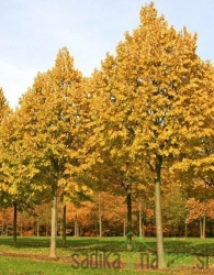 Lipovec Winter Orange na deblu (Tilia Cordata)