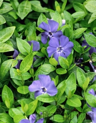 Navadni zimzelen Darts Blue (Vinca minor)