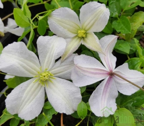 Srobot Prince Charles White (Clematis)