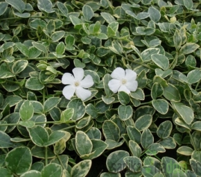 Navadni zimzelen Evelyn (Vinca minor)